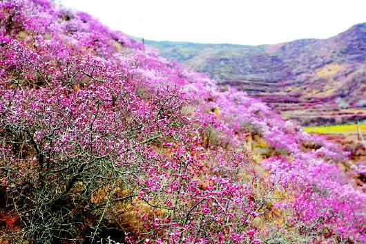 甘南:四月桃花盛开 山坡上一丛丛粉红